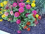 Zinnia, Button Box Nano, facile colorato a crescere annuale, 40 semi! Groco