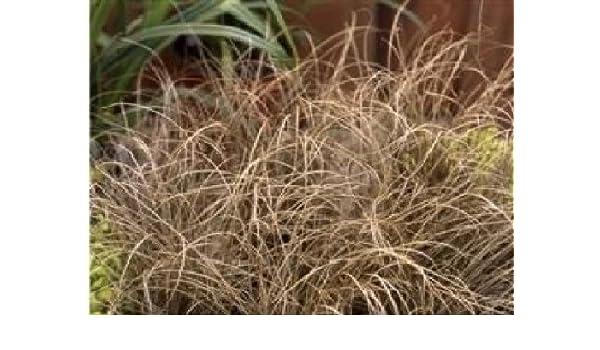 Large Packet 50 Seed Ornamental Grass Carex Comans Bronze Curls