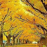 Pinkdose® Davitu 20 Teile/paket Goldene Mimose Samen Garten Pflanzen Acacia Baileyana Gelb Wattle Tree Blumensamen