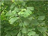 Seedeo Ginkgo (Ginkgo biloba) 6 Samen