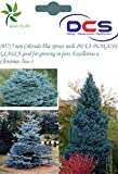 DCS (057) 5 rare Colorado blue spruce se...