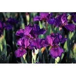 Staudenkulturen Wauschkuhn Iris barbata media 'Voila' - Bartiris - Staude im 11cm Topf