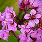 Grüner Garten Shop Bergenie, Bergenia Hybride, Herbstblüte, hell-violettrosa im April-Mai, Sept, Staude im1 Liter Topf