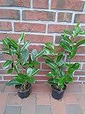 40 Kirschlorbeer, Prunus Novita, Höhe: 30-40 cm ab Topf, ideal als Hecke