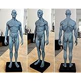 Bestdental Mannequin anatomique humain de 30cm de hauteur - modèle de tête, de crâne, corps, os, muscles