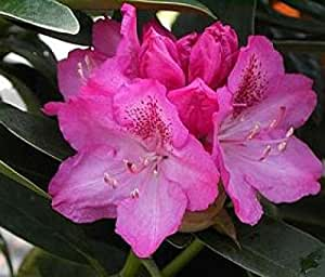 Baumschule Anding Alpenrose - Rhododendron - Hybride - INKARHO - Constanze