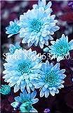 AGROBITS 100 piezas del crisantemo planta de Bonsai Bonsai flor del aster Flor Seedsplants crisantemo del arco iris perenne de flores a domicilio jardín: 6