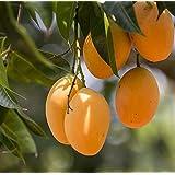 Shubham Nursery Dwarf Alphonso Mango Plant King Of Mango Grafted Plant In Polypack