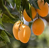 #10: Shubham Nursery Dwarf Alphonso Mango Plant King Of Mango Grafted Plant In Polypack