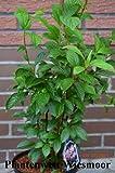 Winterschneeball Viburnum bodnantense Dawn 40-60 cm im 5 Liter Pflanzcontainer