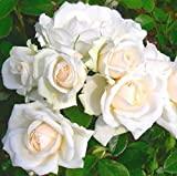Special Occasion Rose 'Your Wedding Day' in a 3.5 litre Pot