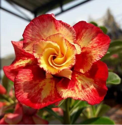 Desert Rose Rare Graines 2 Particules / Lot Plantes ornementales Balcon Fleurs rouges Bonsai pot de fleur Graine réel Adenium obesum Pot 1