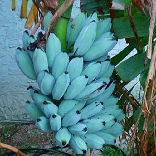 Qulista Samenhaus - 100pcs Raritäten BIO Blau Banane Bonsai Obst Saatgut mehrjährig winterhart Exotik für Terrasse und Balkon