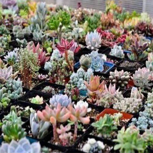 Verlike 100pcs mix succulente semi per piantare, lithops pseudotruncatella bonsai semi di piante da giardino