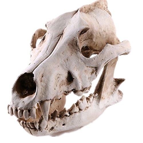 Gato humano gorila Tiranosaurio Rex cráneo cráneo modelo simulación decorativo cráneo lobo ornamentos Familia bar decoración Inspiración para la escritura y la pintura Exhibición médica (Cráneo de lobo)