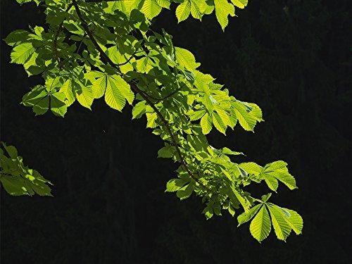 Artland Qualitätsbilder I Wandbilder Selbstklebende Premium Wandfolie 120 x 90 cm Botanik Pflanzen Foto Grün A8EH Die Jungen Blätter der Rosskastanie