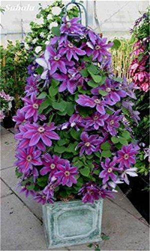 100 Pcs Clematis Graines de plantes Belle Paillage Graines de fleurs Bonsai ou un pot de fleurs vivaces pour jardin Mix Couleurs 15