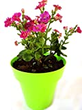 Rolling Nature Pink Kalanchoe in Green Colorista Pot