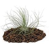 Tillandsia Argentea–Loose planta