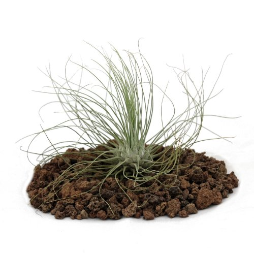 Tillandsia argentea, planta suelta