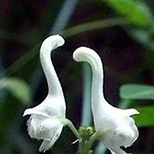 SSXY Rare Swan Fleur Graines Fleur Blanche Graines Fleurs Maison Jardin Décor De Cour, 100Pcs / Pack