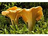 Funghi gallinacci (Cantharellus cibarius) micelio Spawn semi essiccati (10g) di micelio più