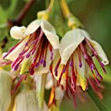 Plant World Seeds - Clematis Napaulensis Seeds