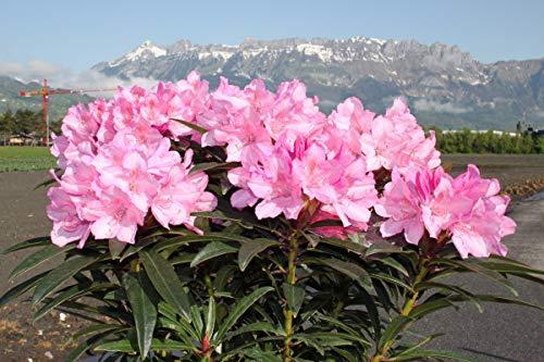 Rhododendron ponticum 'Graziella' - Im 5 lt. Topf, Höhe ca. 30-40cm
