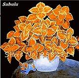 VISTARIC 3: 50 Samen/Beutel Bodendecker Chrysanthemum Blumensamen Stauden Bonsai Daisy Pflanzensamen für Hausgarten 3