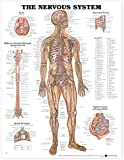 Image de The Nervous System Anatomical Chart