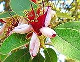 Portal Cool Evergreen Obstbaum, Feijoa, Ananas Guave, Brasilianische Guave, blühender Strauch