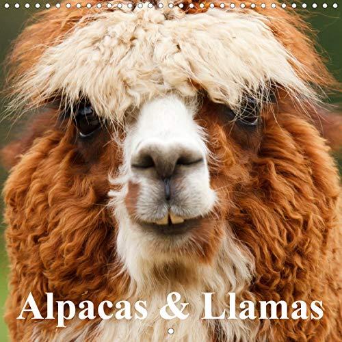 Alpacas & Llamas (Wall Calendar 2020 300 × 300 mm Square): Beautiful Animals of South America (Monthly calendar, 14 pages ) (Calvendo Animals)