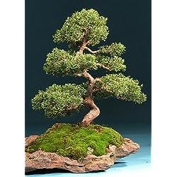 Tropica - Bonsai - Chinesischer Wacholder (Juniperus chinensis) - 30 Samen