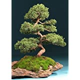 Tropica Lot de 30 semences de bonsaï de genévrier de Chine (Juniperus chinensis)