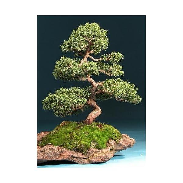 Tropica – Bonsai – ginepro cinese (Juniperus chinensis) – 30 semi