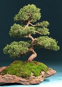 Tropica - Bonsai - ginepro cinese (Juniperus chinensis) - 30 semi