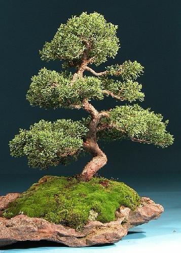 Tropica – Bonsai – Chinesischer Wacholder (Juniperus chinensis) – 30 Samen