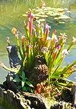 TROPICA -Sarracenia-Trompetenblatt ( Sarracenia leucophylla-mix ) -10 Samen