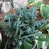 Blauer Flacher Wacholder 'Blue Chip' - Juniperus horizontalis 'Blue Chip' - Nadelgehölz