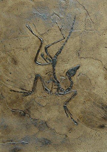 Replikat des weltberühmten Urvogels Archaeopteryx in Museums Qualität; Fossilien Abdruck, Nachbildung, Tier, Tiere, Tierfossilien, Vogel -