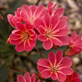 Lewisia Cotyledon Ruby Red Seeds