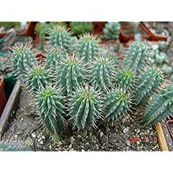 Asklepios-seeds® - 10 Samen Hoodia parviflora, seltene Hoodia!