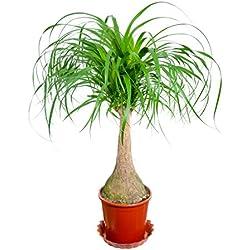 """Pflanzenfuchs® Elefantenfuß """"Beaucarnea recurvata"""" mit Geradem Stamm, 14 cm Topf, grün, 40 cm"""