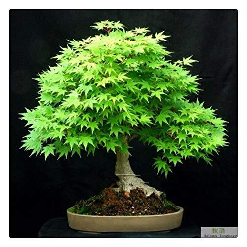nulala 20 teile/beutel Japanische Ahornbaum Samen Japanische Rote Ahorn Bonsai für Haus und Garten, Acer palmatum Thunb (C)