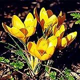 100pcs / bag Safran Samen Krokus Samen Bonsai Pflanzen Blumensamen für den Garten zu Hause versorgt 1 leicht wachsen
