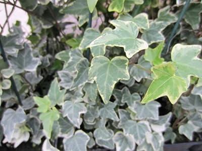 Buntblättriger Efeu, 3 Pflanzen, 9cm Topf von Dominik Gartenparadies auf Du und dein Garten