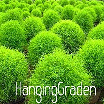 Homely Herbe Graines Vivaces 50 Pcs/Sac Herbe Brûlant Bush Kochia Scoparia Graines Rouge Jardin Ornementales Facile Cultiver, 254Rxc