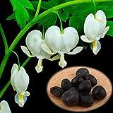 Delaman Dicentra Samen Blumensaatgut Tränendes Herz Pflanzen im Garten Topfpflanzen Balkon 10 Stücke (Color : White)