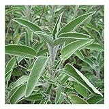 Salbei, echter Salbei - Salvia officinalis (50 Samen)