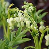 Tränendes Herz Alba - Dicentra Spectabilis - Pflanze winterhart mit herzförmiger Blüte -Herzblume im Topf von Garten Schlüter